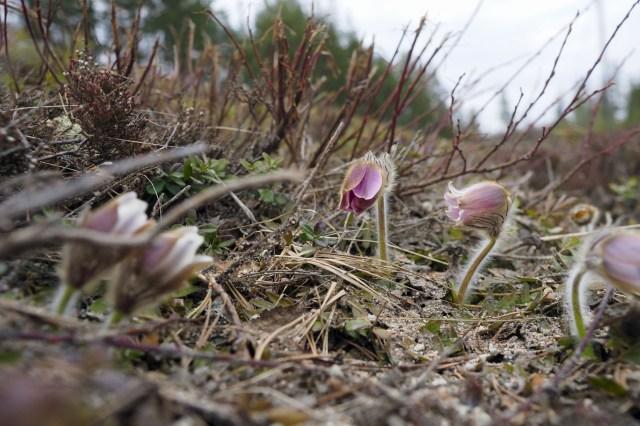 Mosippan är fridlyst. Den växer i närheten av ställverket på vattenskyddsområdet i Stackbo.