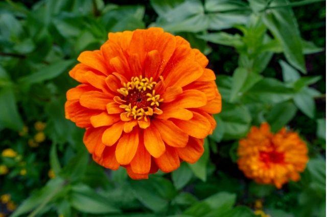 Kirli Hanım Çiçeği Yetiştirilmesi ve Bakımı