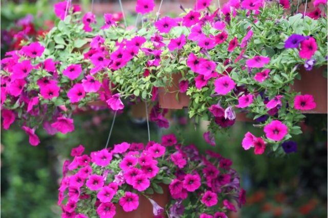 En Çok Tercih Edilen Balkon Çiçekleri