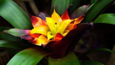Guzmanya Çiçeği Bakımı ve Sulaması Nasıl Yapılır?