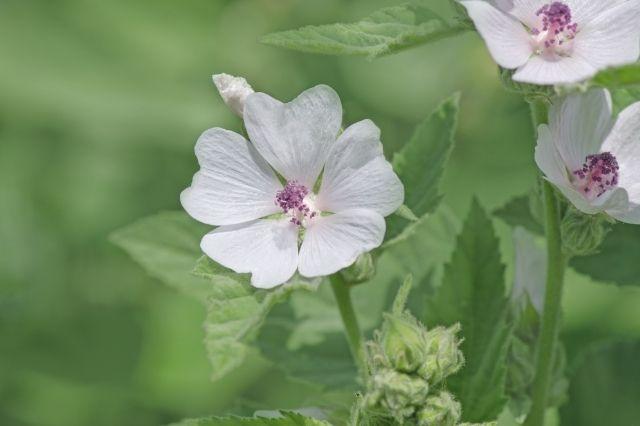 Hatmi Çiçeği Faydaları ve Zararları Nelerdir
