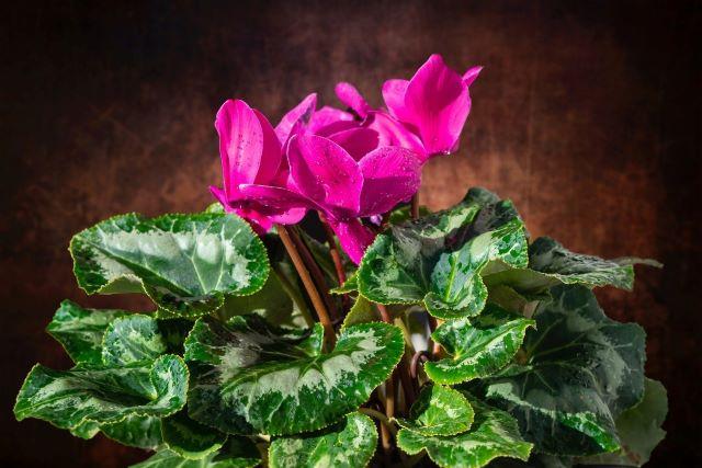 Sıklamen Çiçeği Bakımı Nasıl Yapılır? Sıklamen Çiçeği Anlamı ve Yetiştirme Yöntemleri