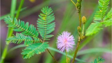 Küstüm Çiçeği Nedir? Küstüm Çiçeği Anlamı