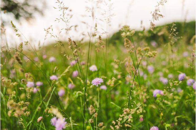 Lavinia Çiçeği Nedir? Faydaları Ve Zararları Var Mıdır?