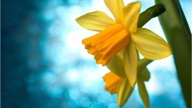 Nergis Çiçeği Nedir? Anlamı Var Mıdır?