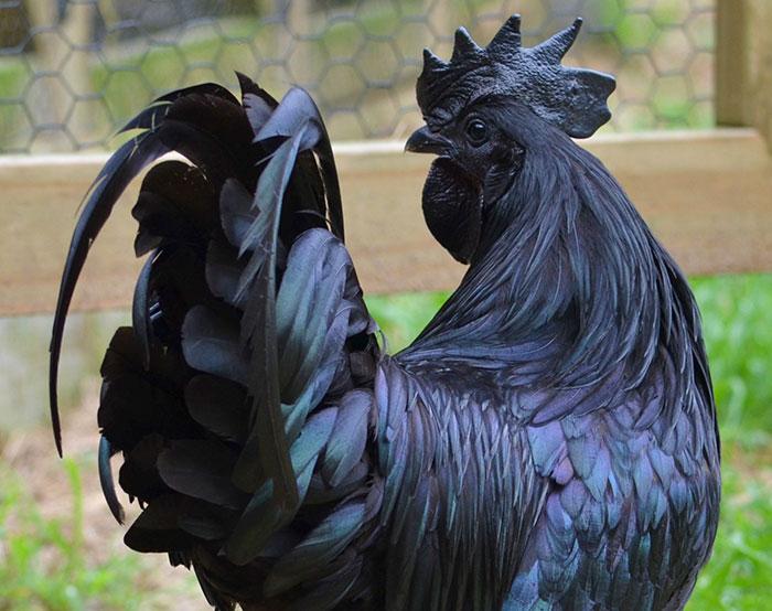 Gotik Tavuk
