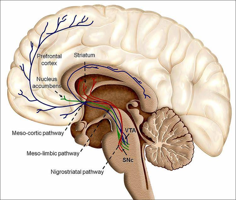 Beyindeki dopamin yolu / Credit: Pöppel et al./BioMed Central
