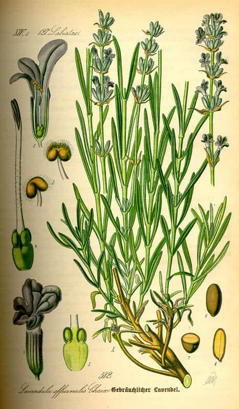Lavandula officinalis čaj