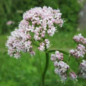 Valeriana officinalis cvijet