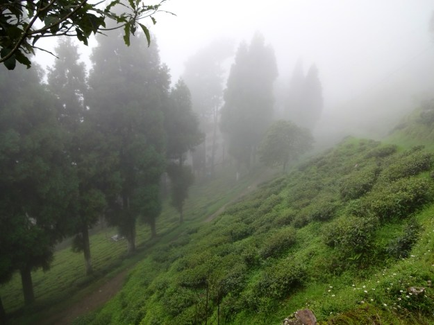 Foggy tea plants