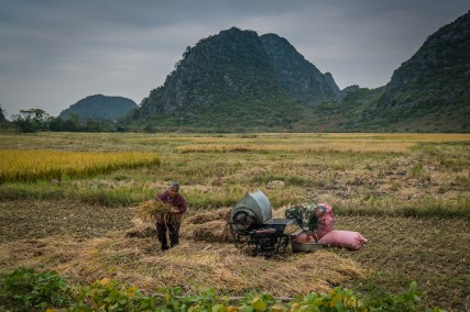 rice-harvest-cutting-bagging-karst-guilin-china