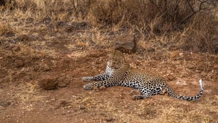 leopard-wild-cut-face-tsavo