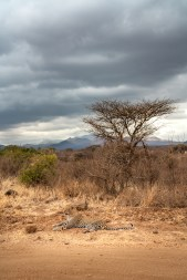 regal-leopard-laying-tree-tsavo