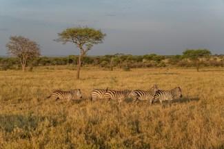 serengeti-paige-shaw-September 19, 2021-5