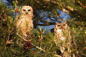 Owlet and Male