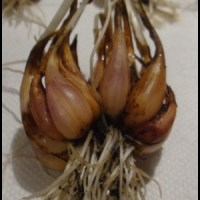Soft Neck Garlic Harvest and Shallots