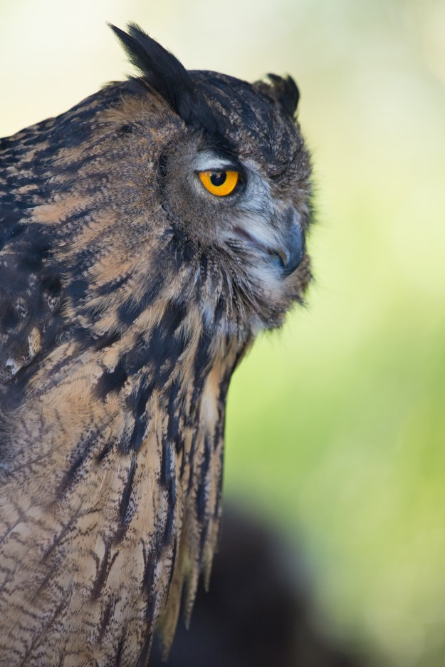 A Eurasian Eagle Owl watches visitors from its perch during a raptors show at the Arboretum at Flagstaff. This photo was taken with a Nikon D610 and 200-500mm f/5.6E at 500mm, f/5.6, ISO 2800, 1/500-second. It has been processed to taste in Adobe Lightroom. (Bill Ferris)