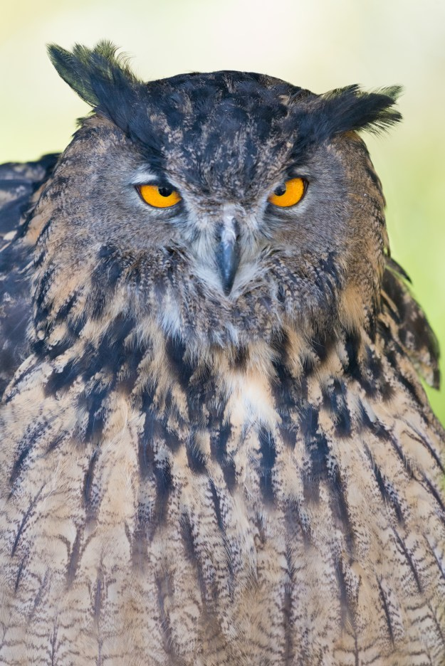 A Eurasian Eagle Owl stands stoically on its perch during a raptors show at Flagstaff Arboretum. This photo was taken with the Nikon D610 and 200-500mm f/5.6E at 500mm, f/5.6, ISO 4000, 1/500-second. It has been processed to taste in Adobe Lightroom. (Bill Ferris)