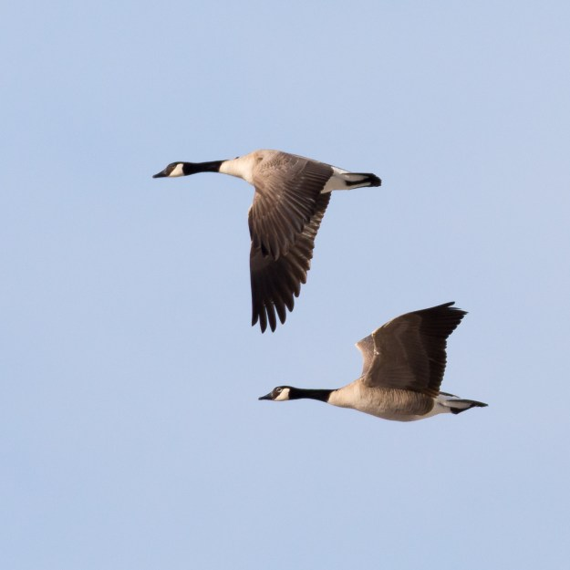 Canada geese cruise the northern Arizona sky near Mormon Lake on a mid-winter's day. (Nikon D610 w/ Nikkor 200-500mm f/5.6E and TC-14E III at 700mm, f/9, ISO 720, 1/2000-second)