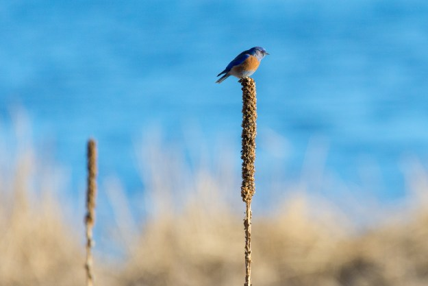A western bluebird sits perched atop a common mullein near the windswept waters of lower Lake Mary in northern Arizona. (Nikon D610 w/ Nikkor200-500mm f/5.6E at 700mm, f/8, ISO 1600, 1/2000-second)