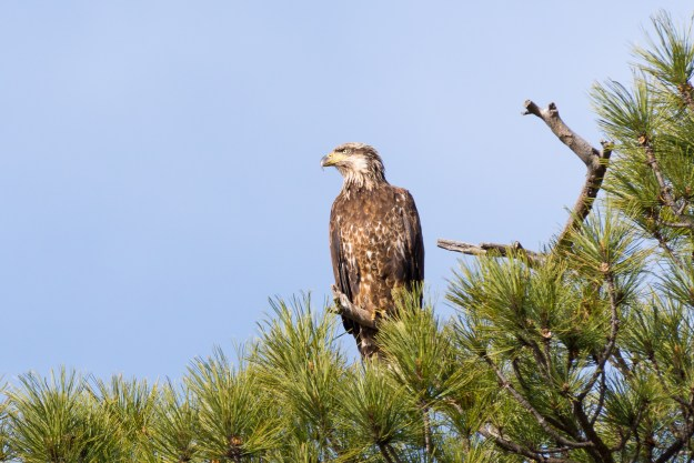 A juvenile bald eagle gazes intently in search of a distant opportunity for a meal or an approaching threat. (Nikon D610 w/ Nikkor 200-500mm f/5.6E and TC-14E III at 700mm, f/11, ISO 450, 1/800-second)