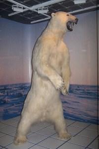 Polar Bears Are Not Drowning