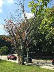Dangerous Trees Of Springfield Pa SEPTA 2