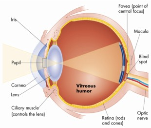 The human eye and visual cortex