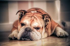 Dozing bulldog