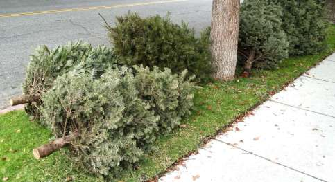 Christmas trees out on the curb after the holidays.