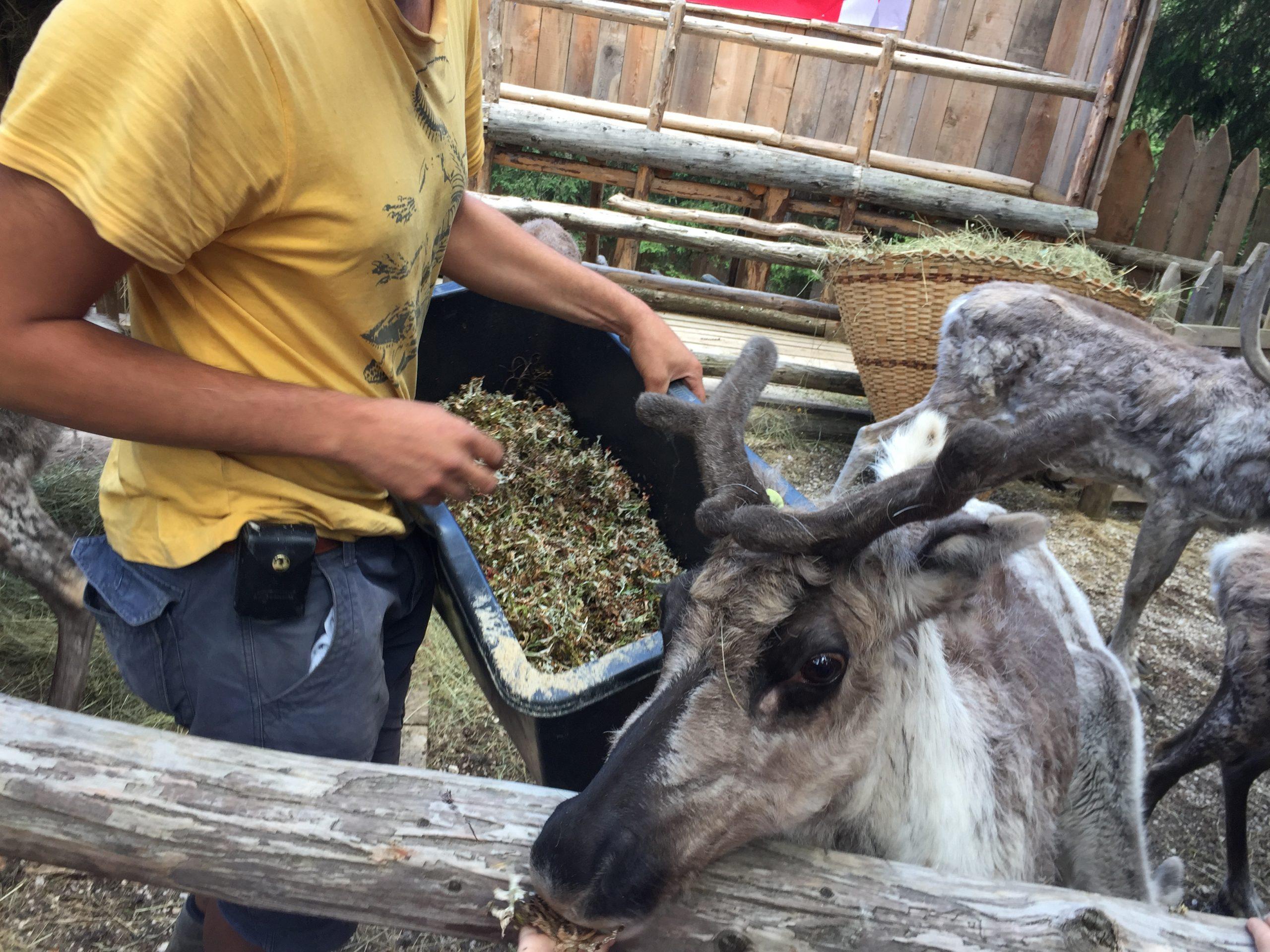 Foraggiamento renne alla Croda Rossa