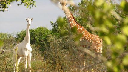 5_caters_white_giraffe_grazing_07-1-e1505219737939