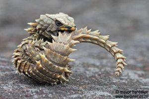 Weirdest Lizards! – Armadillo Girdled