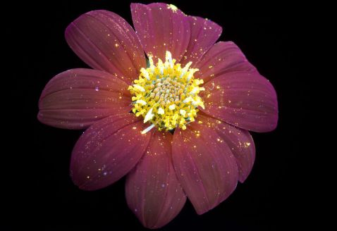 I-make-flowers-glow-to-photograph-their-invisible-light-58eb69210f698__880
