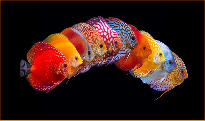 Discus Fish – Aquarium Life