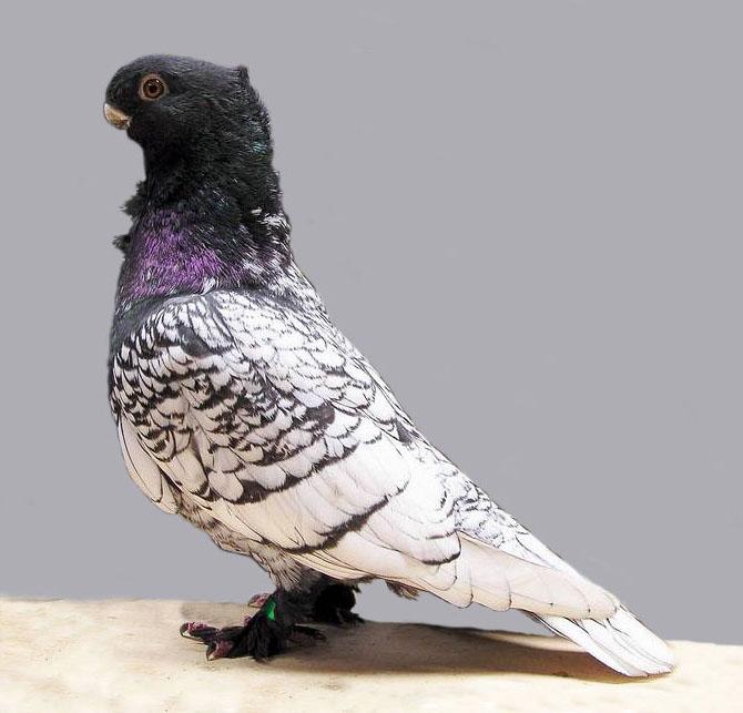 Oriental Frill – Fancy Pigeon