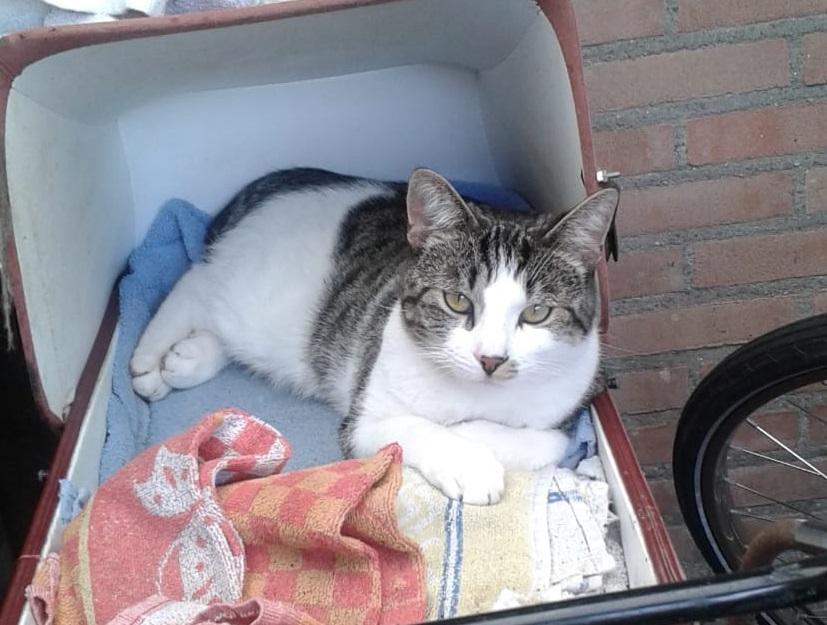grijswitte cyper kat in kinderwagen