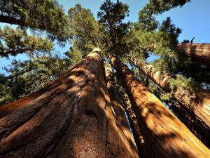 Giant sequoia trees, Sequoia National Park, California