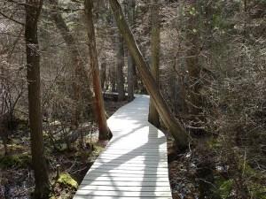 Atlantic White Cedar Swamp Trail, Wellfleet, Cape Cod
