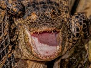 alligator with open mouth gatorland florida