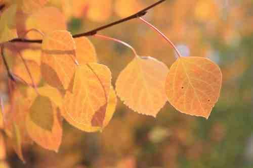 Mountain States Aspen Leaves