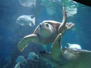 Sea turtles at the Virginia Aquarium