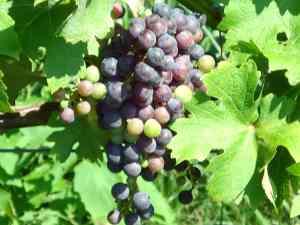 Barrel Oak Vineyards Grapes