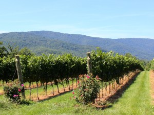 Vines with a mountain backdrop.