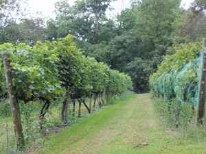 Abingdon Vineyard and Winery Vines