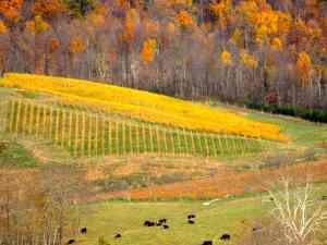 Glen Manor Vineyards Vines