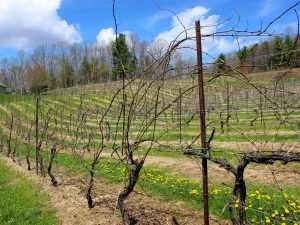 AmRhein Vineyards Vines