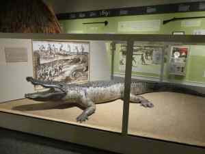 Alligator at Columbus Museum