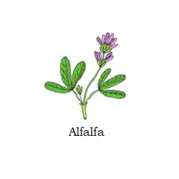 herb alfalfa