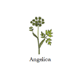 herb angelica